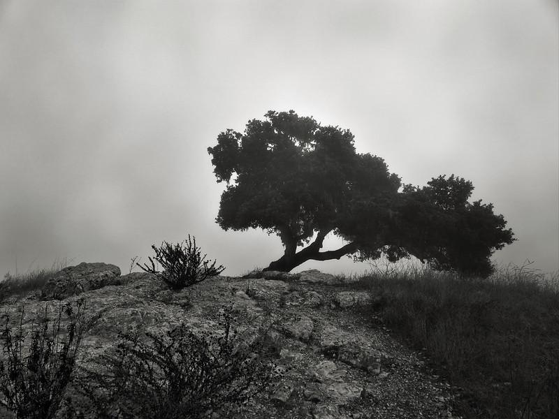 Lone Oak at Pismo Preserve