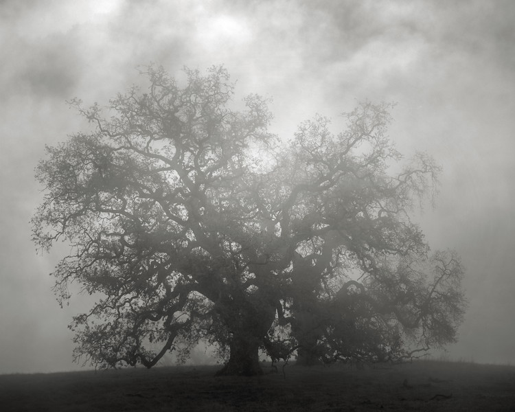 Fog and a Tree