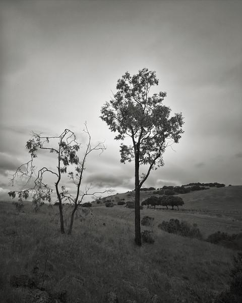 Tree Companions at Santa Teresa