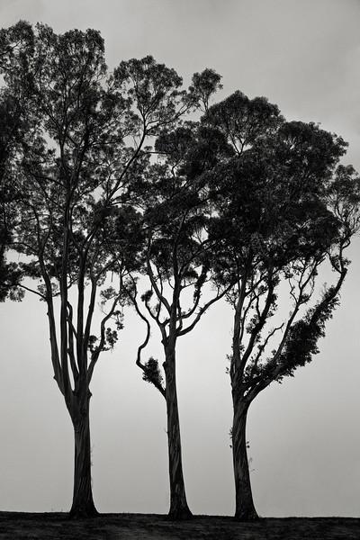 Three Trees on the Coast