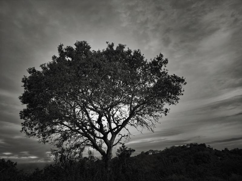 Tree at Almaden Quicksilver in April
