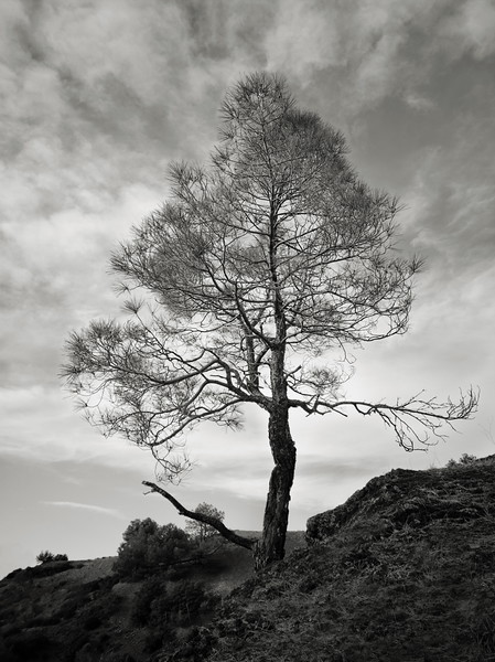 Another Tree at Mt. Umunhum