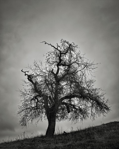 A Tree in January at Calero
