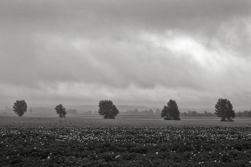 Fünf Bäume hinter einem Kartoffelfeld
