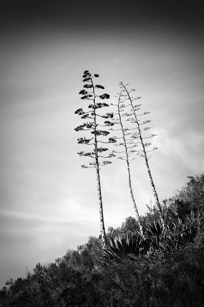 Three Slender Trees