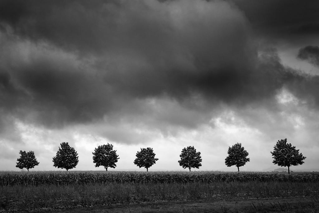 Sieben Bäume im Maisfeld