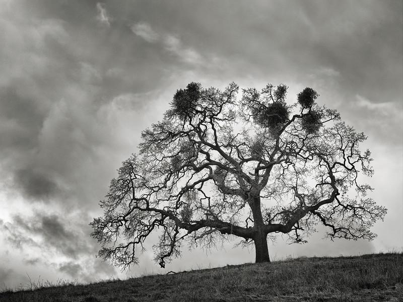 A Grand Tree at Calero