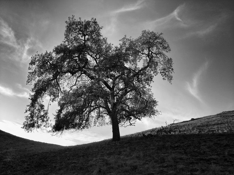 Tree at Calero in the Afternoon