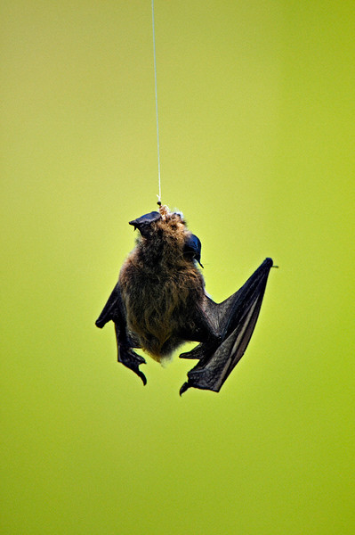 Dead bat on a fishing line in Yellowstone national park, USA