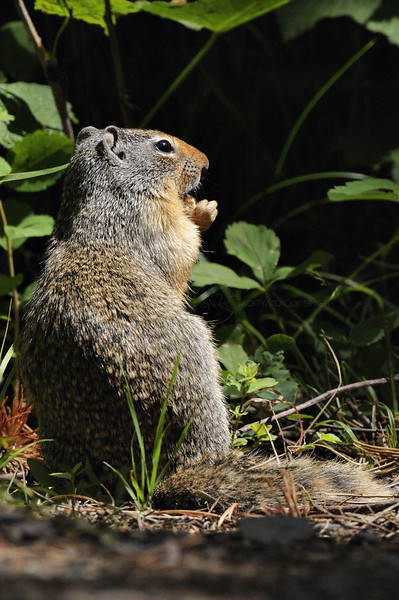 Columbian Ground Squirrel (Spermophilus columbianus) in Glacier national park