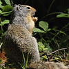 Columbian Ground Squirrel (Spermophilus columbianus) in Glacier national park