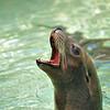 Harbor seal in California USA