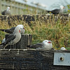 Gulls on the docks in Port Townsend, Washington, USA