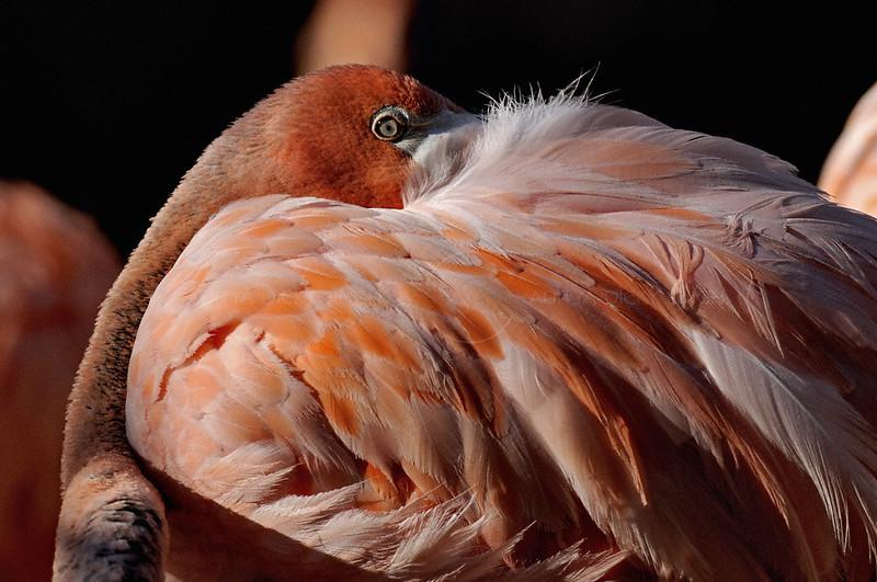 Flamingo in the San Diego zoo in California, USA