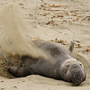 Northern Elephant seal (Mirounga leonina) on a beach in Sothern California