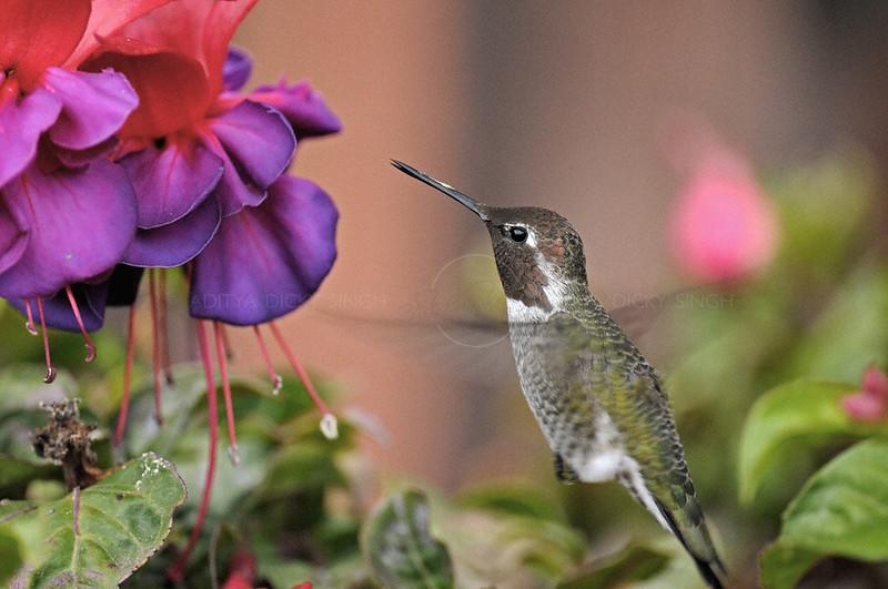 Anna's Hummingbird (Calypte anna) in flight in Southern California, USA
