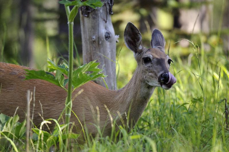 Mule deer (Odocoileus hemionus) grazing in Glacier national park