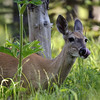 Mule deer (Odocoileus hemionus) grazing in Glacier national park