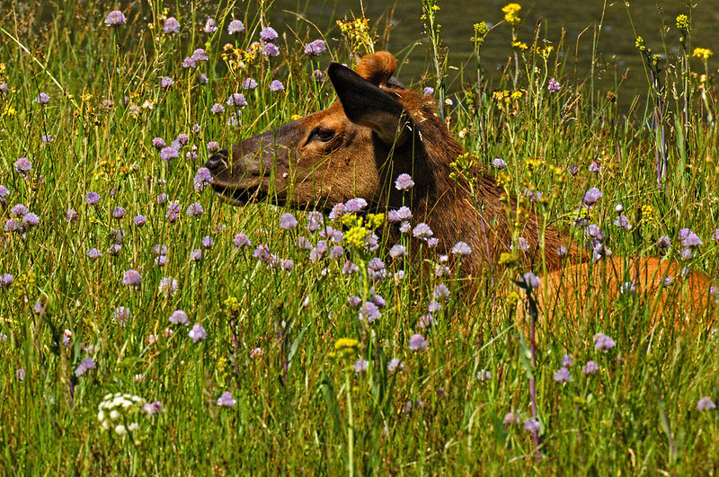 radio collared or tagged Elk sitting in flowery meadow in Yellowstone national park, USA