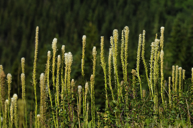 Xerophyllum tenax or Bear grass in Glacier national park