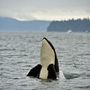 Killer whale in the Puget sound off Washington, USA