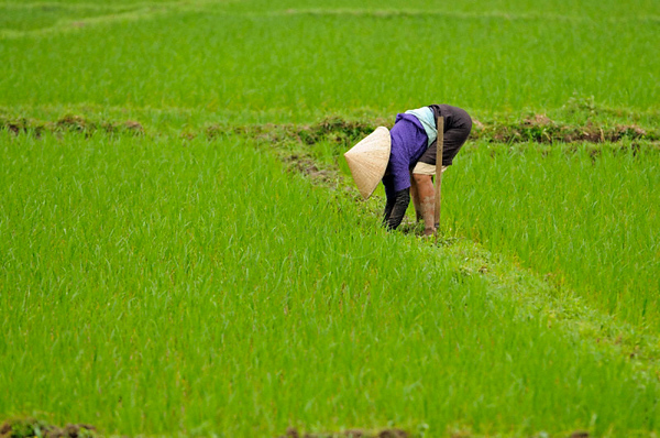 Woman farmer working in the paddy fields at dusk in Mai Chai in northern Vietnam