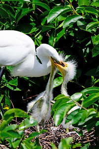 Great Egret Feeding Time