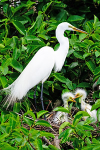 Great Egret Mama and Babies