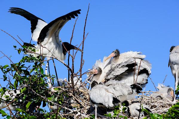 Woodstork Chicks Feeding Time