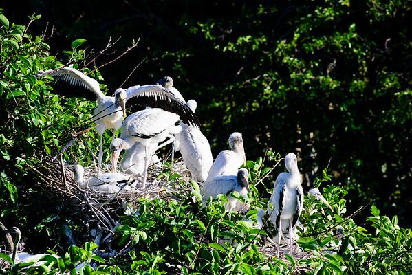 Nesting Woodstorks