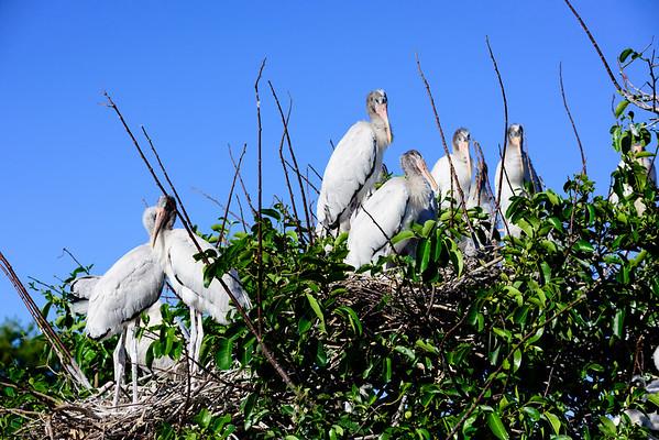 Woodstork Nesting