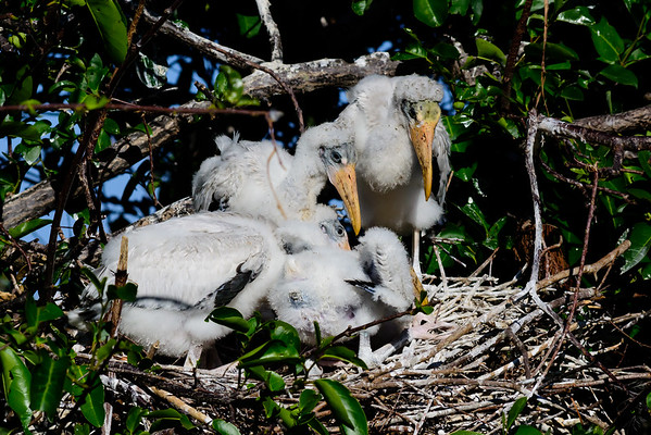 Woodstork Chicks