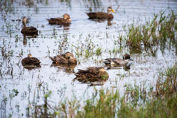 Northern Pintail with Mottled Ducks