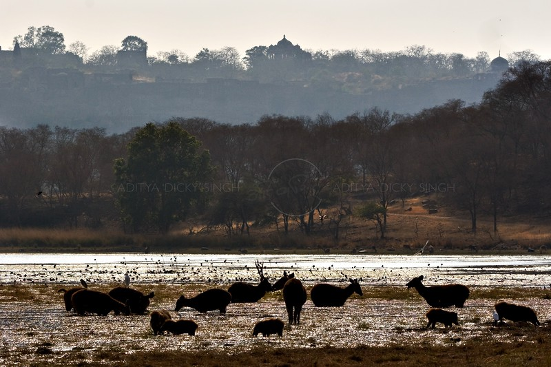 Sambar Deer (Cervus unicolor) in a lake with the Ranthambore fort as a backdrop