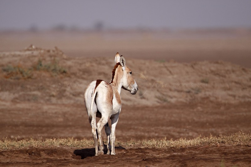 Indian wild ass or Khur  in the dry habitat of Rann of Kutch