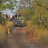 Tourist vehicles following a tiger on a tiger safari in Ranthambhore tiger reserve