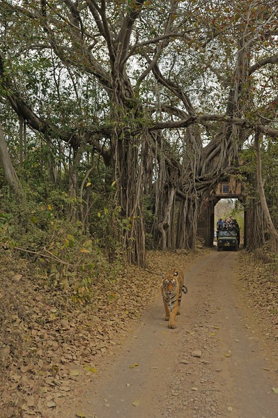 Wild tiger walking through an ancient gate in Ranthambhore national park, with tourist vehicles following.