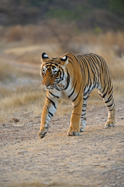 Tiger on a cold winter morning in the dry deciduous habitat of Ranthambhore tiger reserve in India