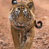 Tiger walking on a forest track