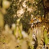 Tiger standing and snarling in the forest  of Ranthambore tiger reserve