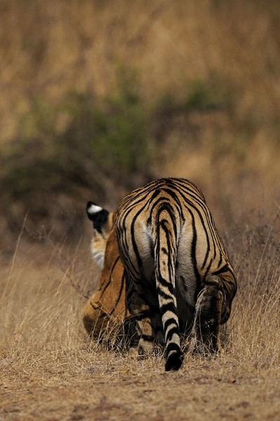 Alert tiger stalking away in the dry grasses of the  dry deciduous forest of Ranthambore tiger reserve
