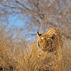 A young tiger cub in Ranthambore national park