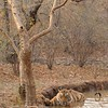 Tiger in a water hole in Ranthambhore