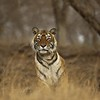 Tiger sitting in Ranthambore tiger reserve
