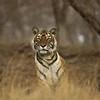 Tiger sitting in Ranthambore tiger reserve