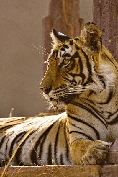 Tiger sitting next to a stone pillar in Ranthambore tiger reserve