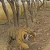 Radio collared tigress near a lake in Ranthambhore national park, Rajasthan, India.