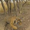 Radio collared tigress near a lake in Ranthambhore national park, Rajasthan, India.