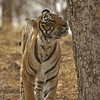 Tiger spray marking a rock in Ranthambore