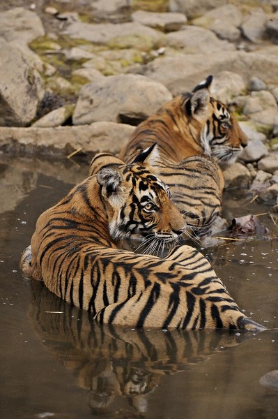 Two tigers in a water hole in Ranthambhore